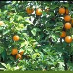 Jaffa Orangen